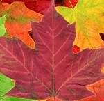 Multicoloured Leaves Located at Westonbirt Arboretum